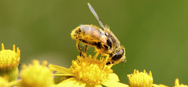 a honey bee on a yellow flower