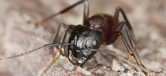 a carpenter ant on a rock in washington dc