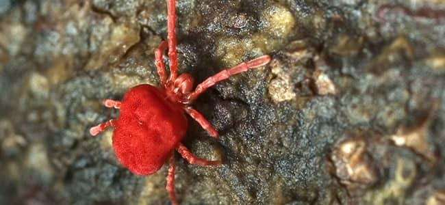 clover mite on a rock