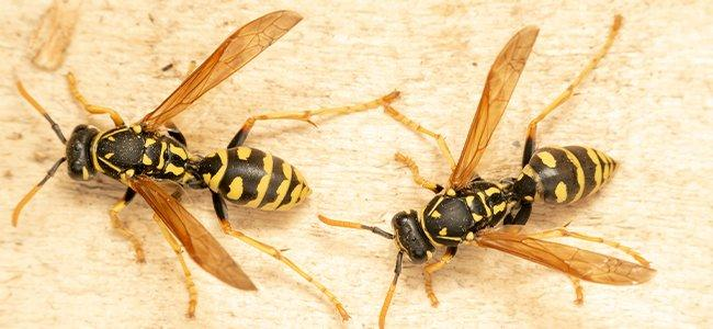 wasps on table