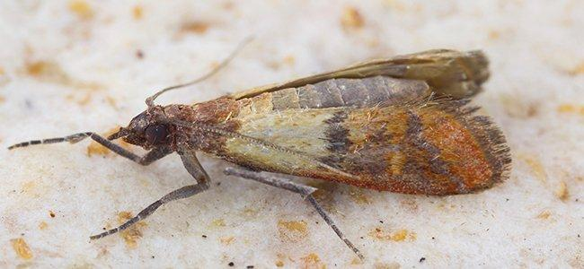 indian meal moth on bread