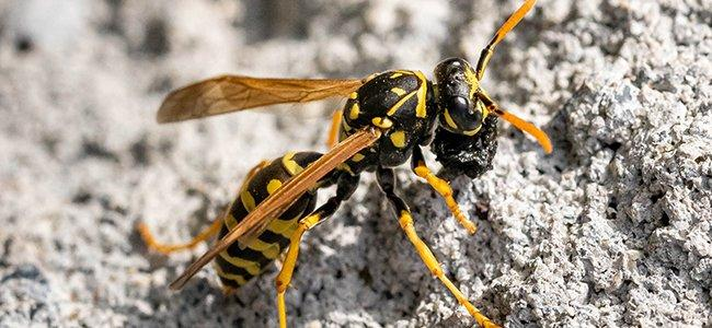 paper wasp on a rock