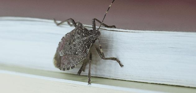 stink bug on maryland home