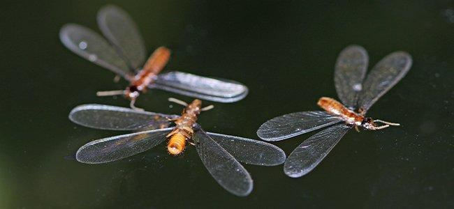 termite swarmers flying