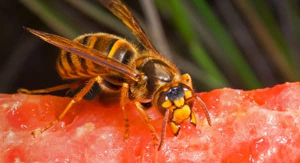 a buzzing wasps infesting food on an new england property