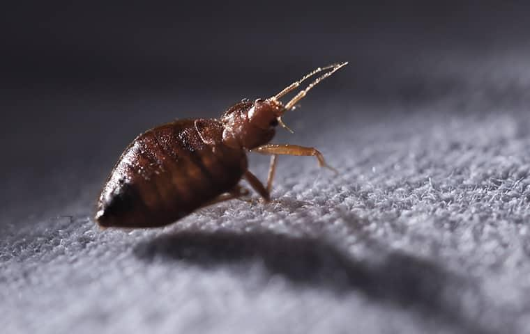 a bed bug crawling in doors