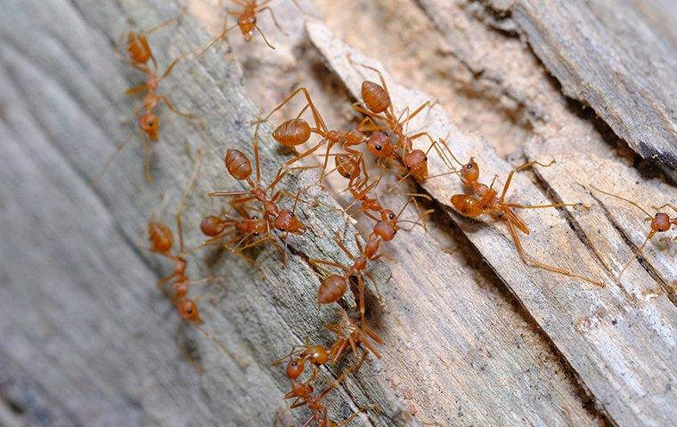 fire ants swarming on a tree