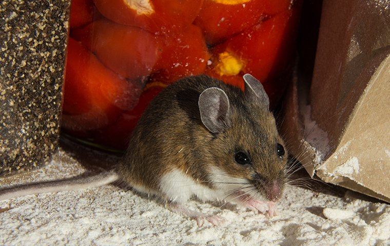 a house mouse crawling in flour