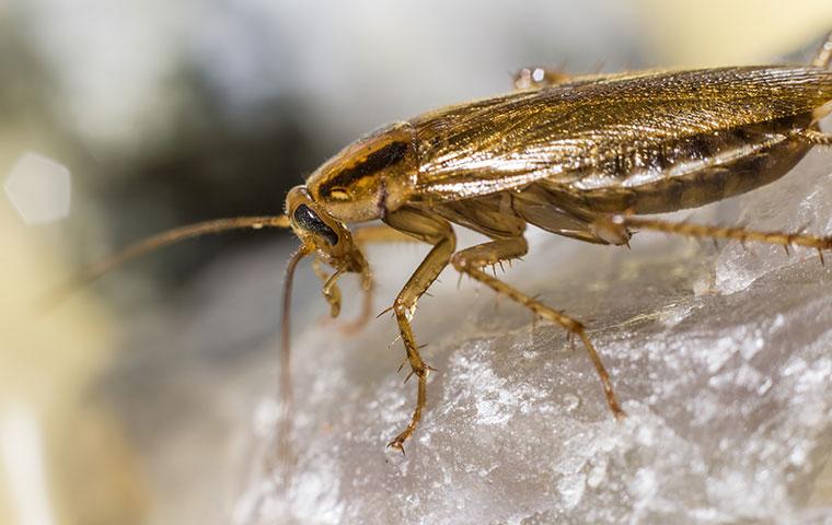 a german cockroach crawling on a rock