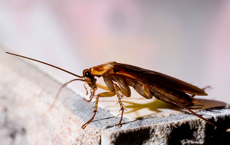 an american cockroach outside a home