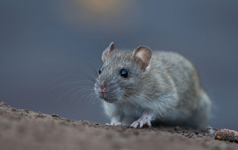 a norway rat crawling outside a home