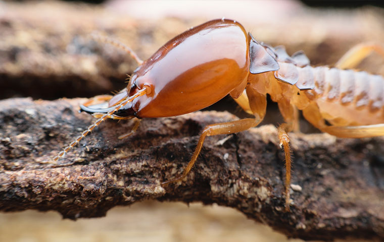 a termite on a piece of structural wood