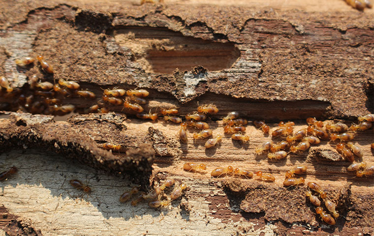a termite colony in a piece of structural wood
