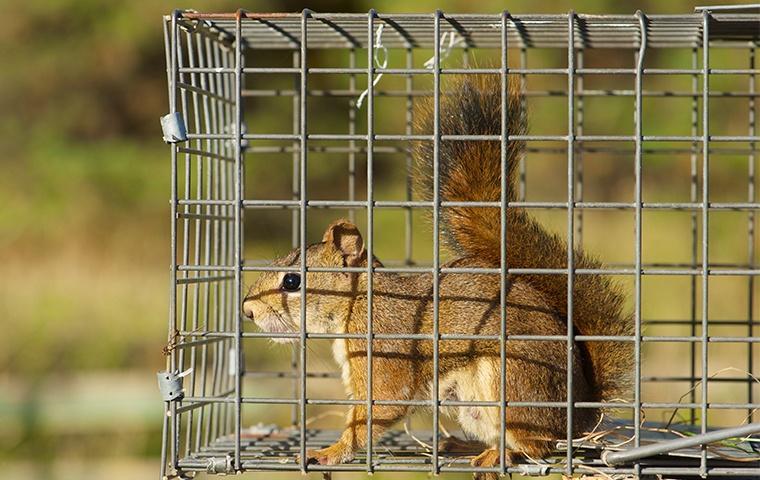 a squirrel in a live trap