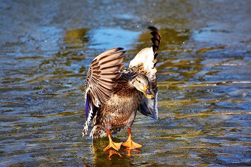 Duck Doing Duck Stuff