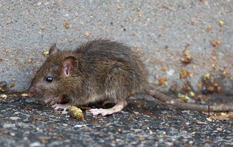 a young rat crawling outside a home