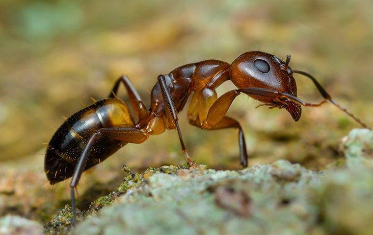 an argentine ant looking for food
