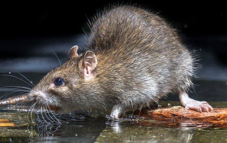 a rat drinking water near a home