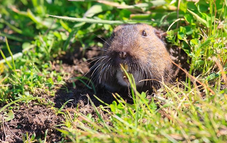 a gopher emerging from a hole in a woodside california yard