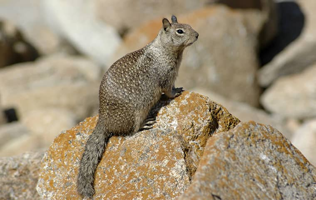 a ground squirrel outside a home