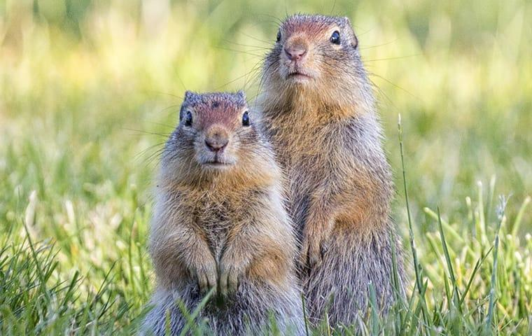 a family of ground squirrels on a montery california property
