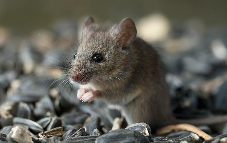 a house mouse chewing sunflower seeds