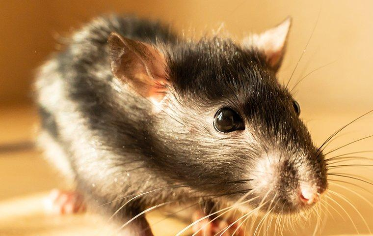 norway rat crawling inside home