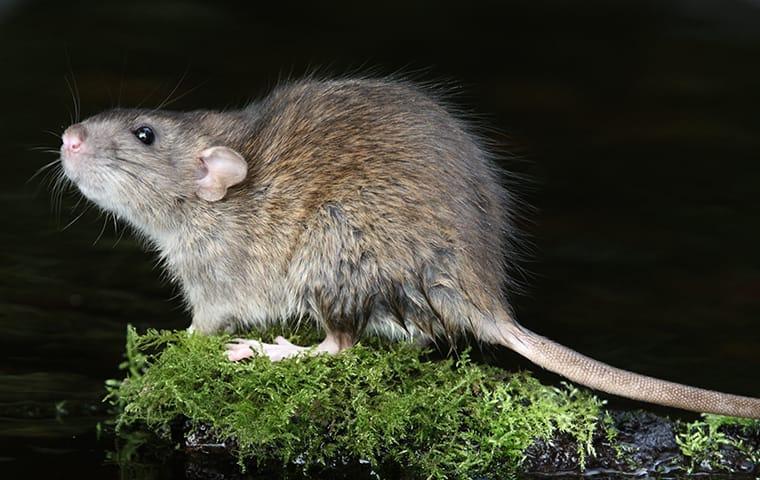 rat on wood