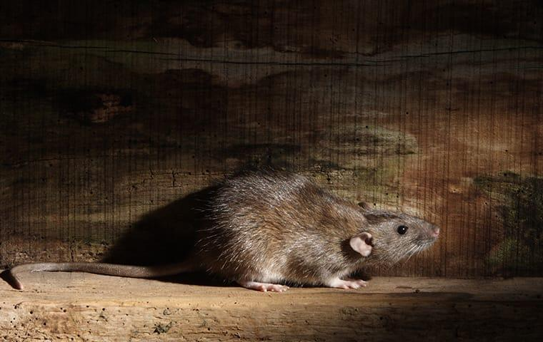 a norway rat sneaking through the walls of a monterey california home