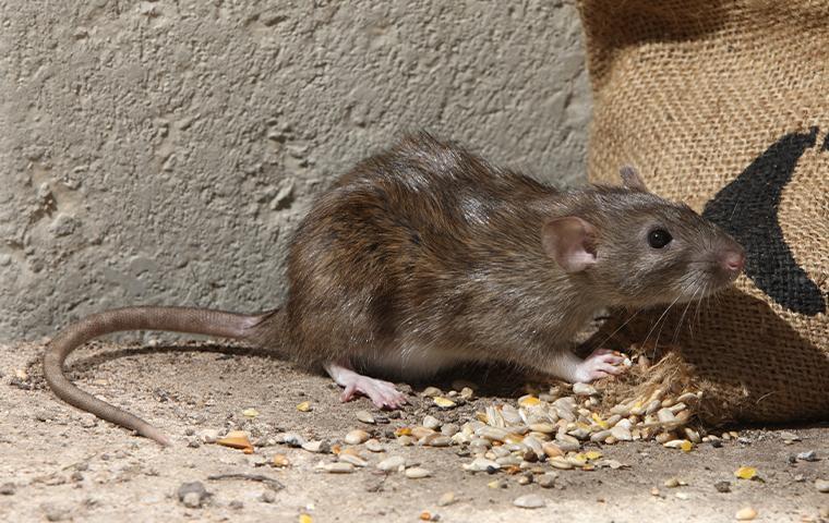 rat eating bird seed