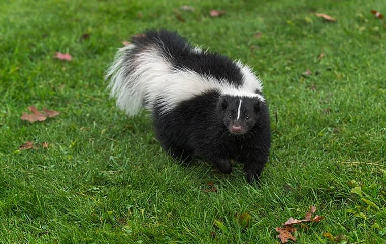 nuiance wildlife skunk infestation in a yard