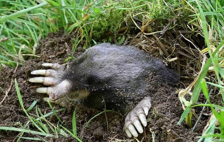 mole in a bay area lawn