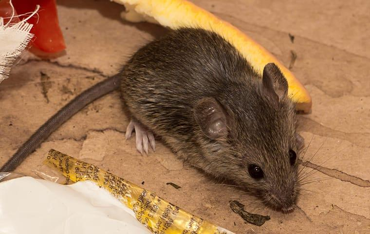 a house mouse crawling inside a home in concord california