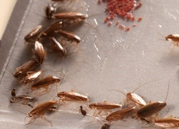 glue strips for cockroaches