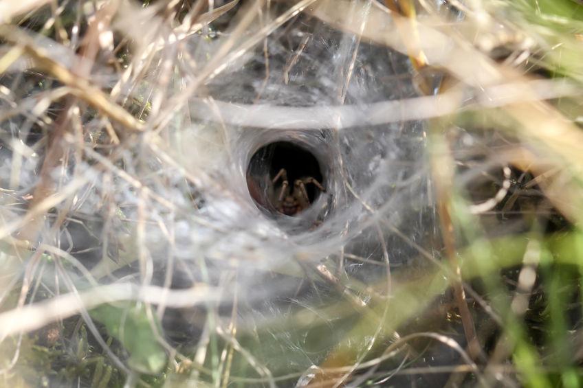 grass spider funnel web
