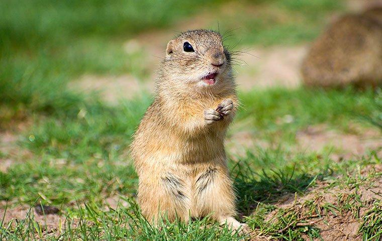 ground squirrel in yard
