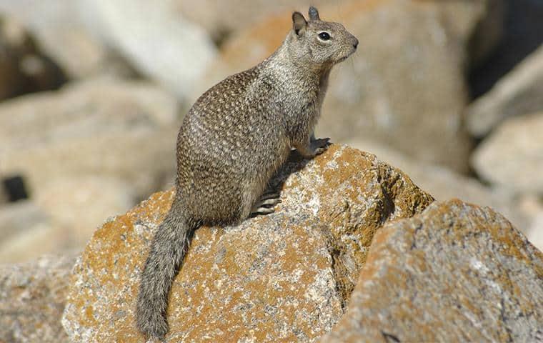 ground squirrel sitting on a rock