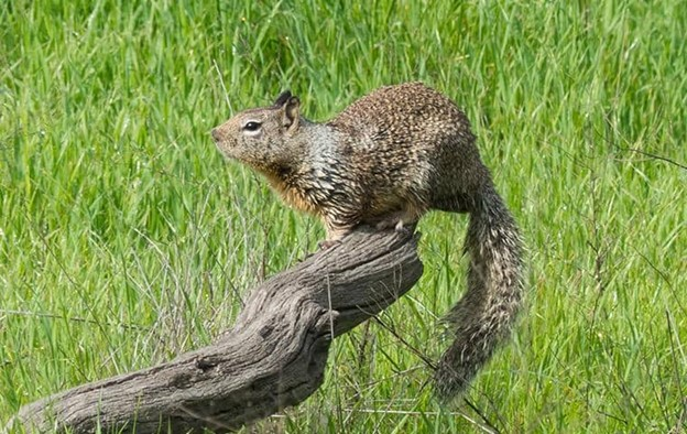 ground squirrel in yard