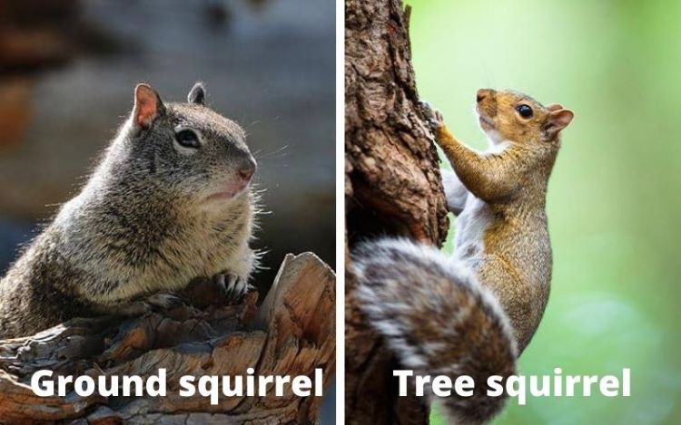 ground squirrel vs tree squirrel