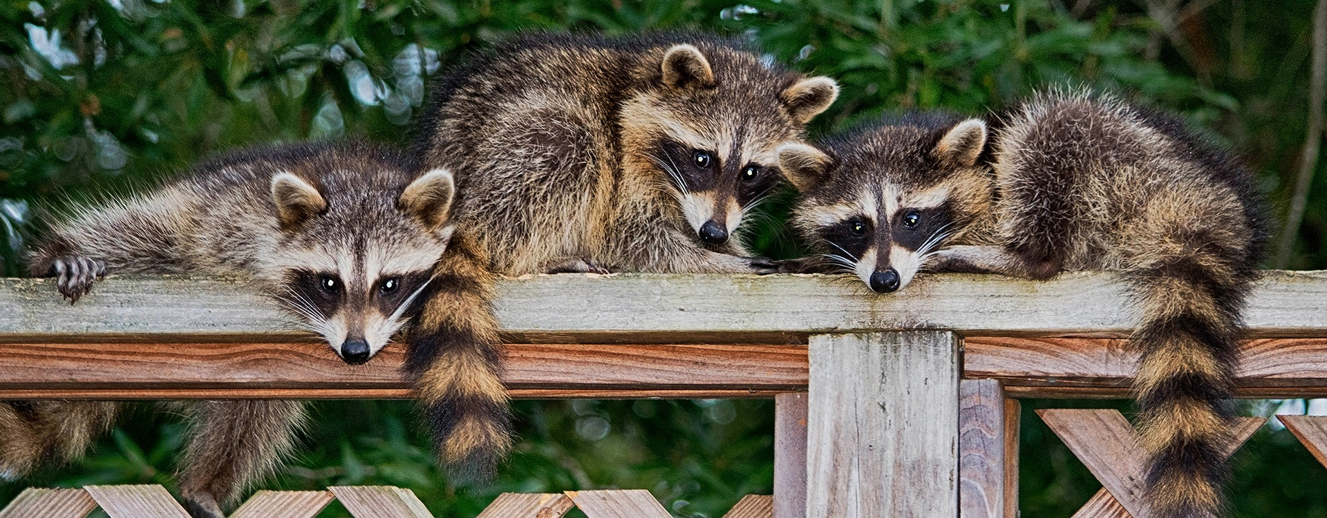 raccoons climbing a wooden fence