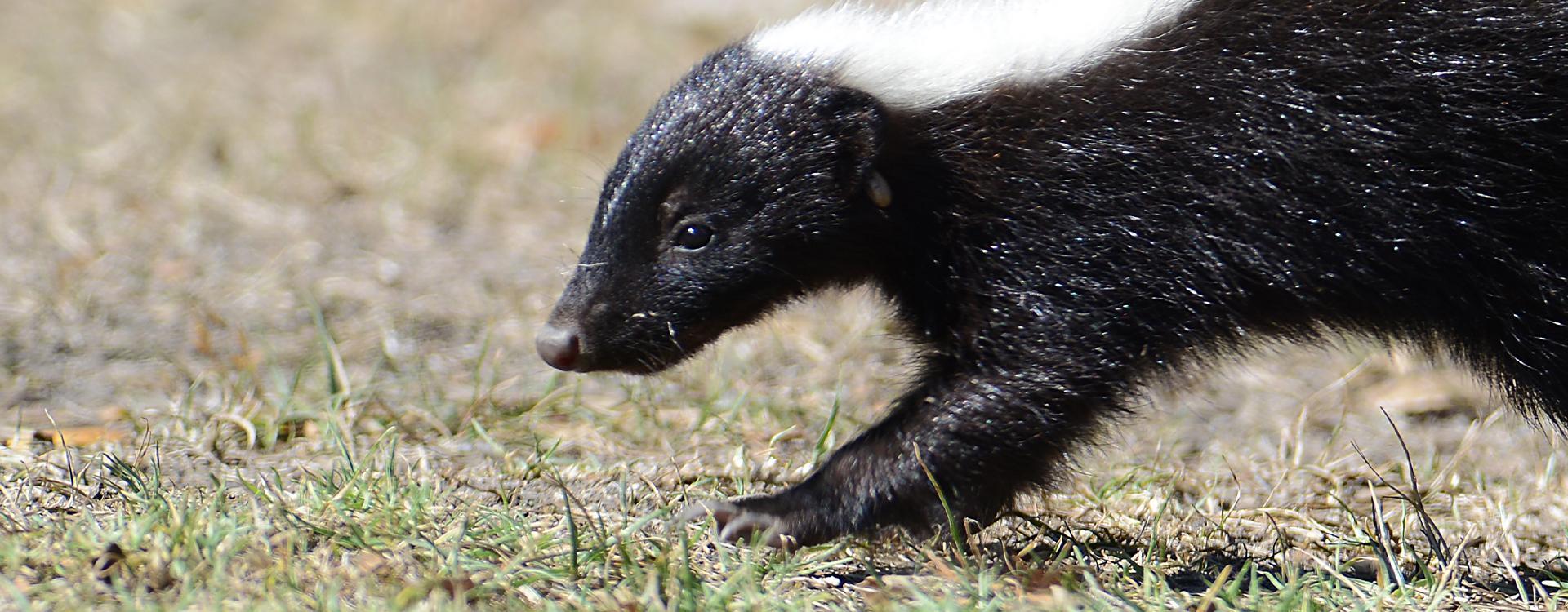 a skunk in a california back yard