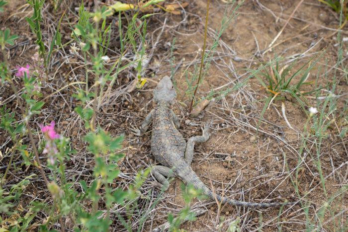 lizard in yard