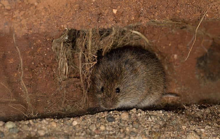meadow vole in a home in san jose