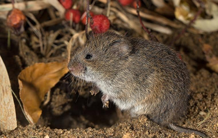 what a meadow vole in sonoma ca looks like