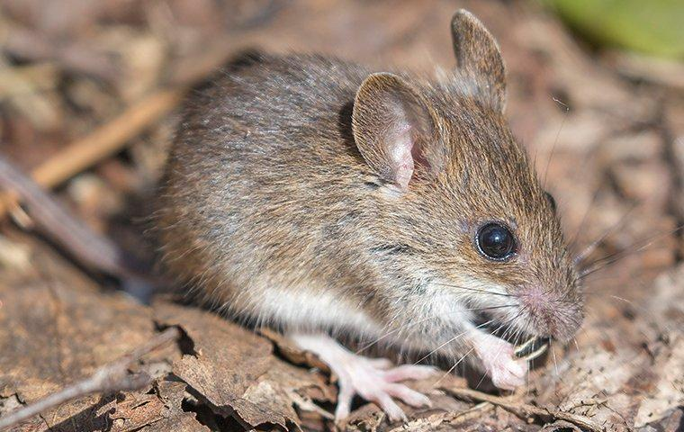 a house mouse crawling outside a home in pleasanton california