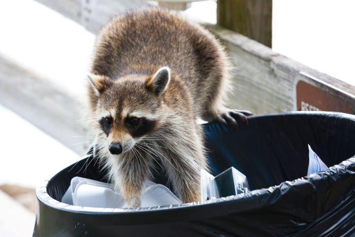 raccoon digging through trash in san francisco home