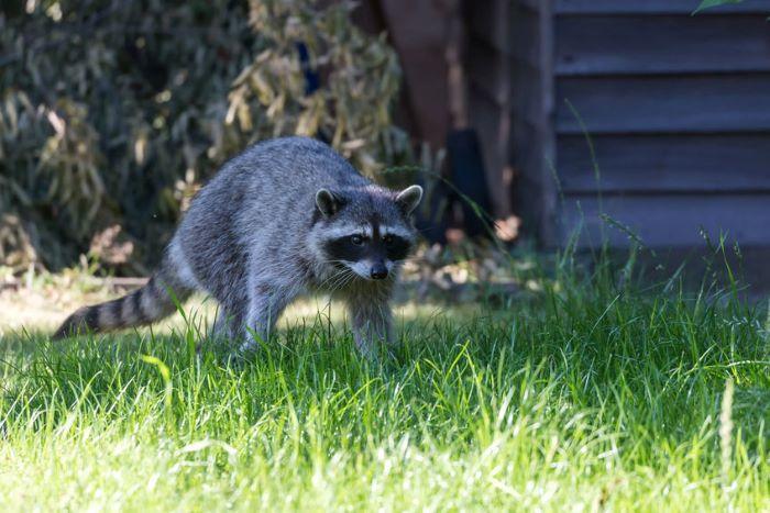 raccoon in garden causing damage