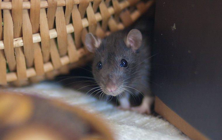 a rat crawling inside a home