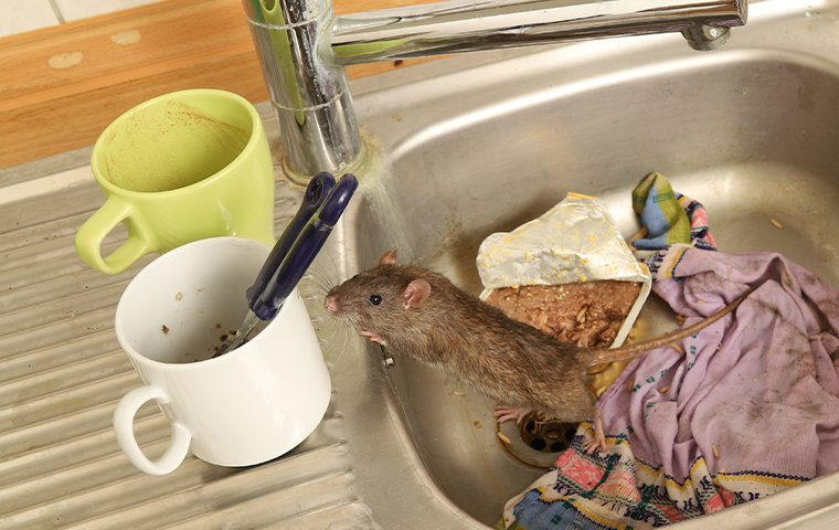 a rat crawling in a dirty sink in a house