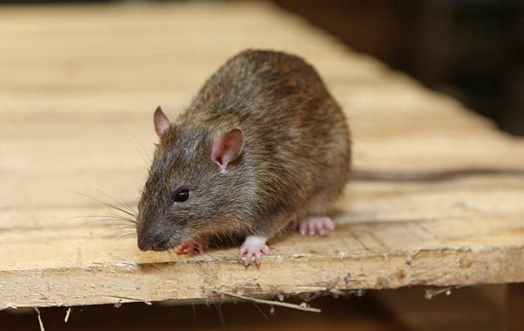 rat on a wooden table